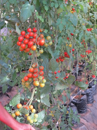 Cherry tomatoes for supply to Spar Supermarkets